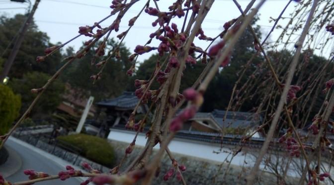 弾正糸桜は・・