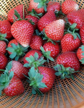 イチゴが実をつけ始めました。(5月23日)
