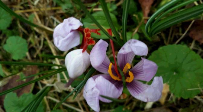 たぬきの庭に「サフラン」が咲きはじめました。