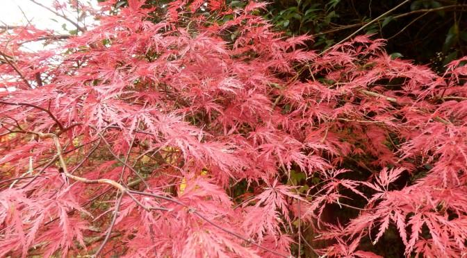 「たぬきの庭」紅葉がきれい!