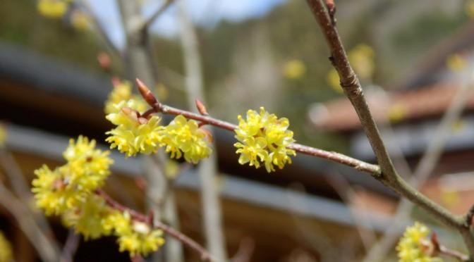 3月23日 たぬきの庭に「クロモジ」の開花です。