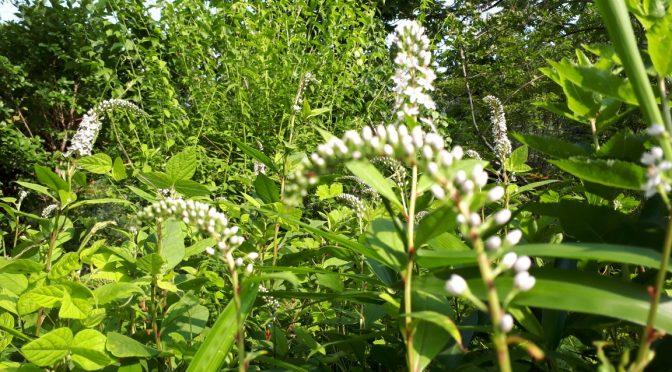 たぬきの庭の花