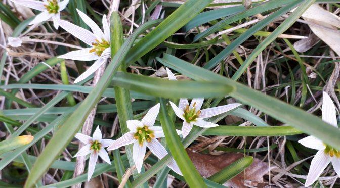 「山野草」いろいろ開花